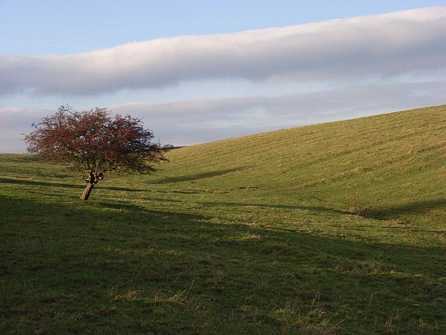 Hawthorn in pasture above Ham Burn