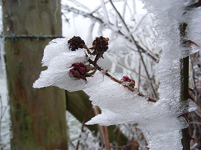 Frosty bramble, Christmas Common