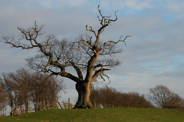 Oak tree on Park Farm