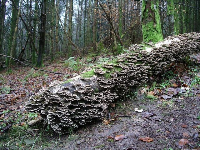 Fallen silver birch with fungi
