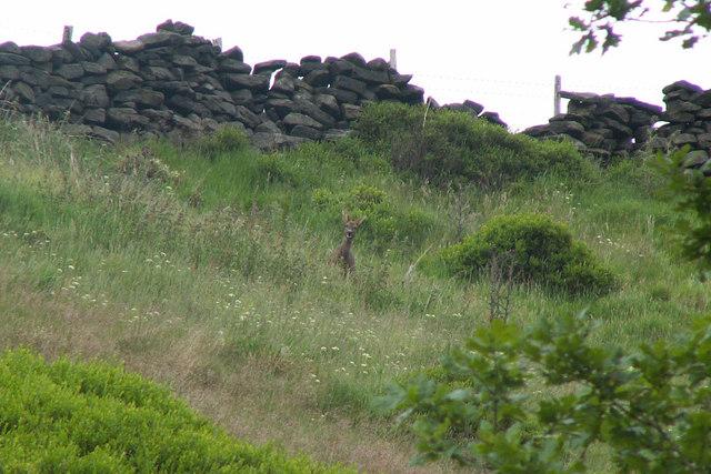 Roe deer above Hebden Water