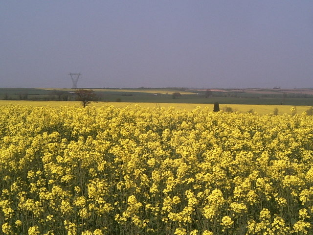 Yellow Rape Field, Whitewater Common