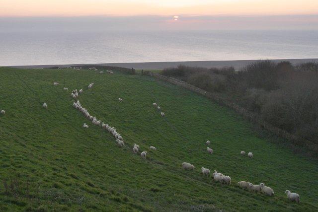 Sheep on Chapel Hill, Abbotsbury