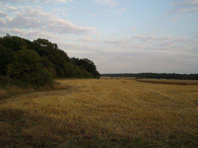 Cornfield beside the Slipe Wood near Harrold