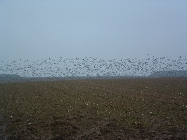 Hundreds And Hundreds Of Geese
