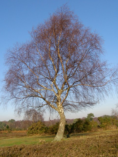 Silver birch on White Moor, New Forest