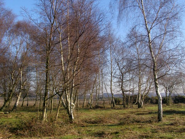 Silver birch trees on White Moor, New Forest