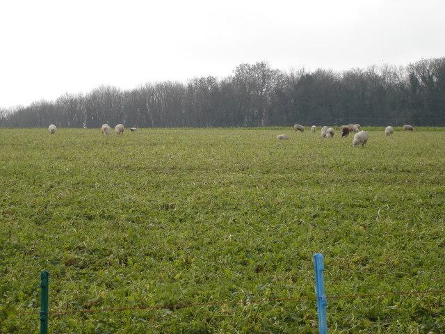 Sheep Grazing on Main Down