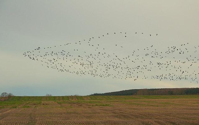 A skein of Greylag gets airborne east of Burnside Farm.