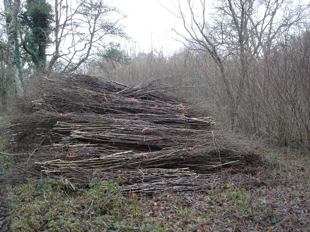Evidence of coppicing in Greatstone Coppice