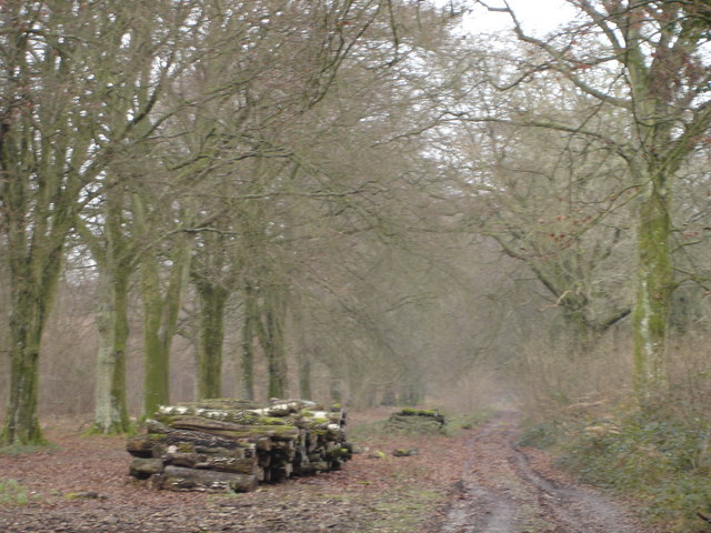 Wooded Avenue in Greatstone Coppice