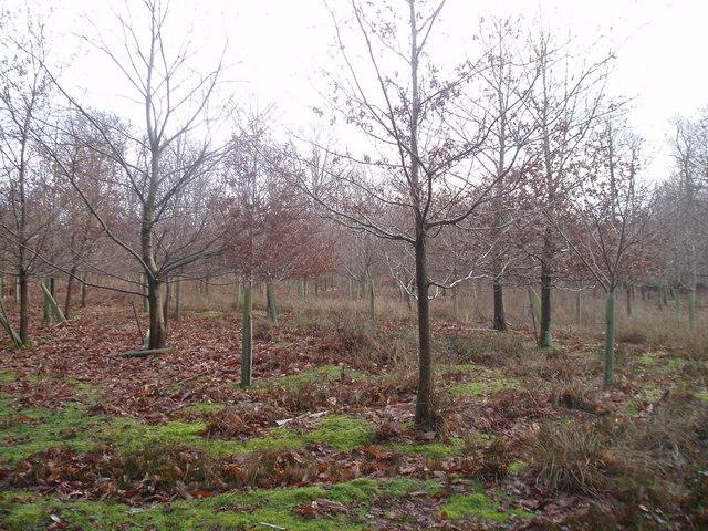 New trees on Wotton estate