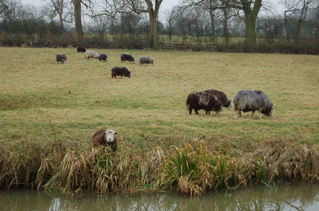 Sheep grazing in canal field