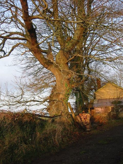 Winter sunshine on beech trees, Little Sheepsbyre.