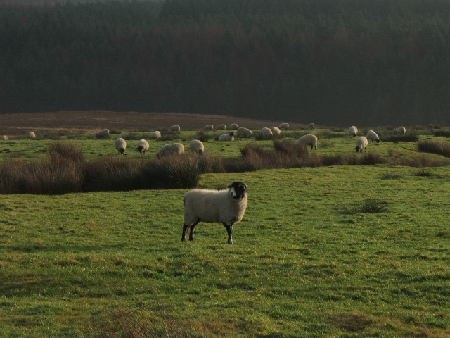 Moorland Sheep.