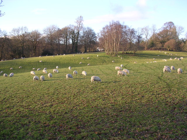 Sheep grazing in the Wye Valley