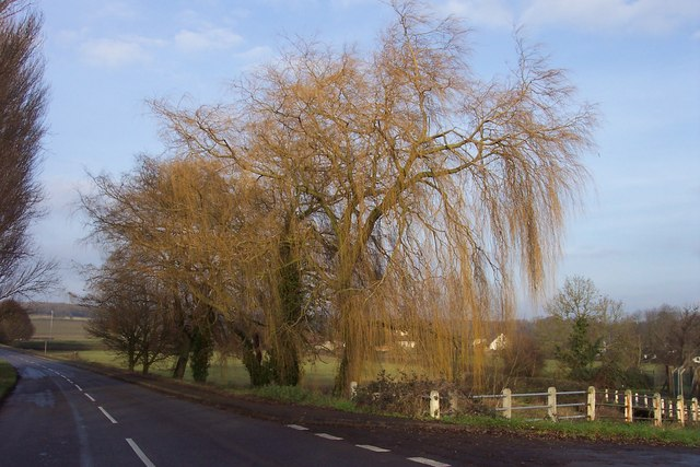 A fine willow in winter