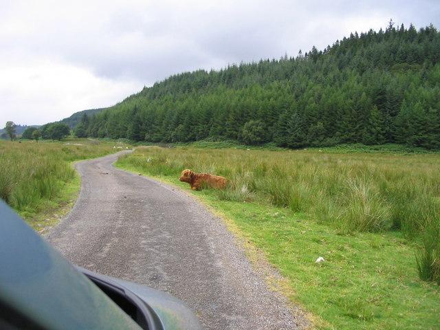 Angus cow in Glen Lonan