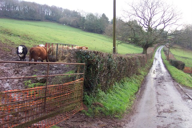 Beef cattle by the lane