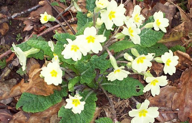 Primroses Growing in Knighton Woods