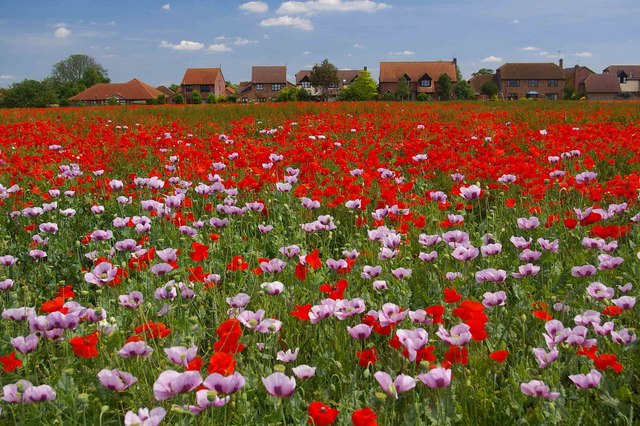 Poppies, Baston, Lincolnshire