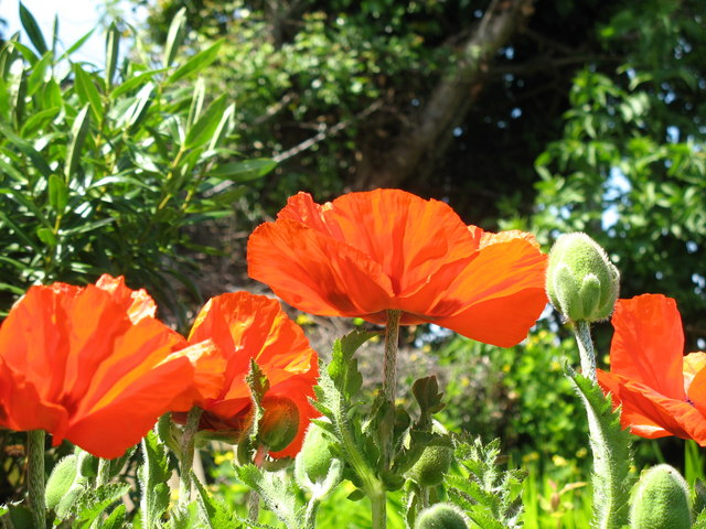 Poppies thriving in the hot summer of '06