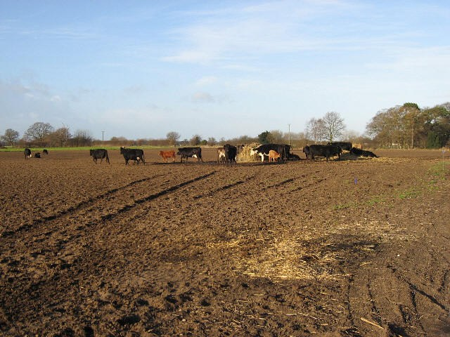 Motley Coloured Cows