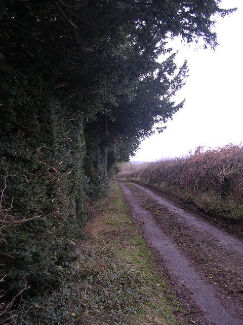 Ancient yew hedgerow on Coxbury and Wyegate Lane