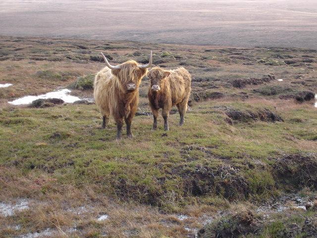 Highland Cattle on Maol an Uillt Ghrisinn