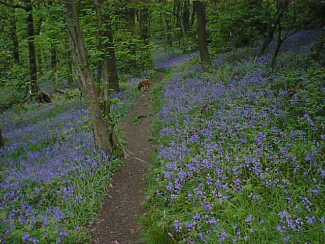 Linacre Wood Bluebells