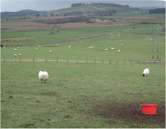 Sheep near South Footie.
