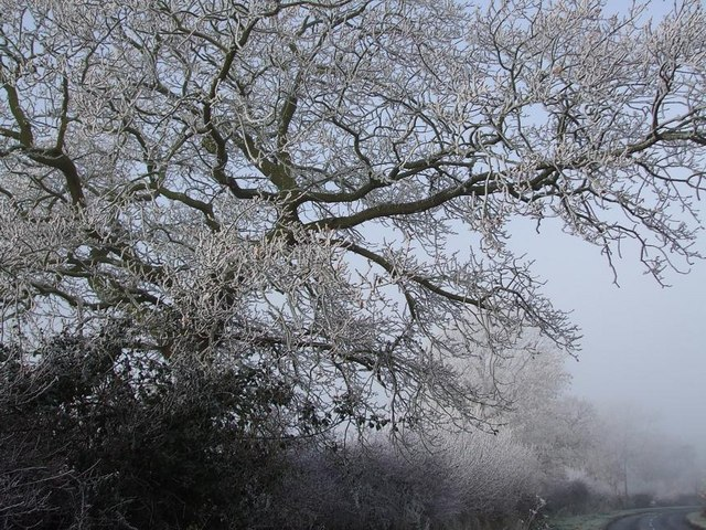 Hoar-frosted Tree