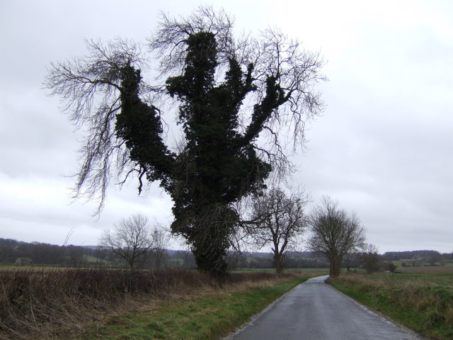 Ivy-clad tree