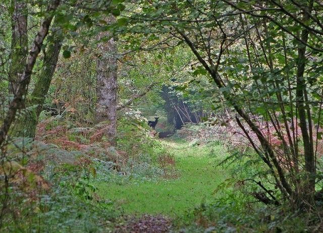Deer in Garston Wood