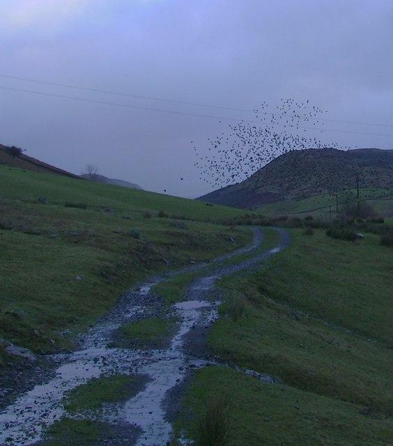 Starlings, Borrowdale