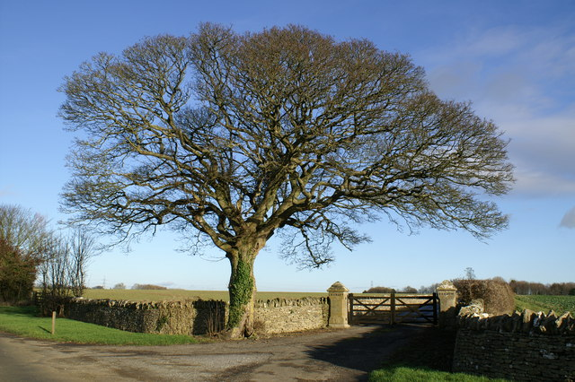Winter Oak at Crickley Barrow