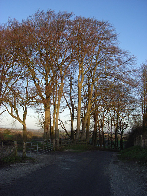 Beeches and road near Watership Down
