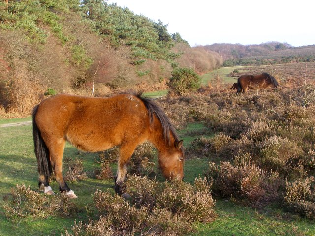 Ponies grazing in Longslade Bottom, New Forest