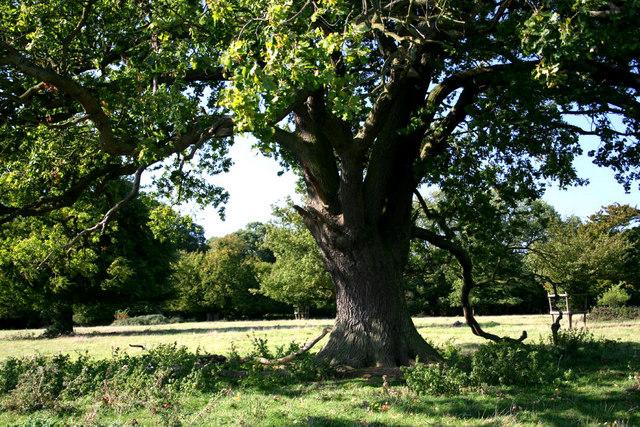 Old Oaks, Hatfield Forest