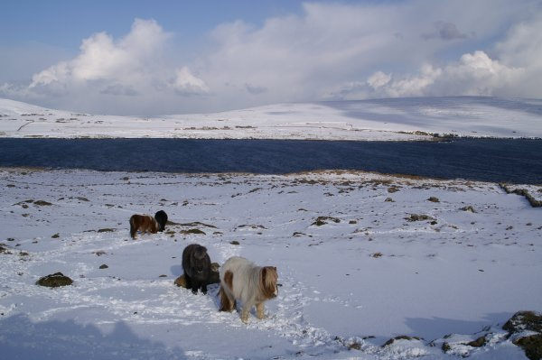 Ponies in the snow near Setters Quarry