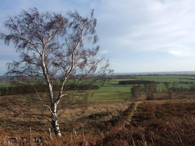 Silver birch and moorland near Lynch Wood