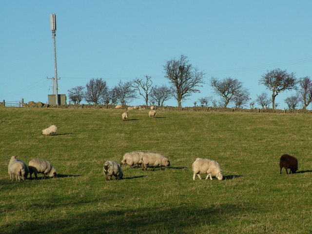 Sheep Grazing near Kingswells
