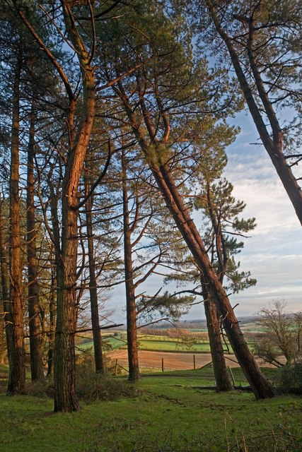Looking through Pines from Penbury Knoll