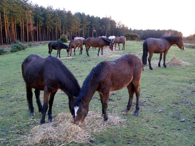 Ponies feeding on straw, Longdown Inclosure, New Forest
