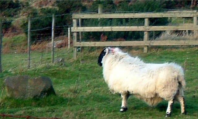 Ram at Westerton