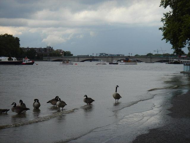 Geese at high tide near Putney Bridge