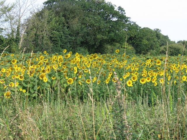 Sunflower field at Roudham Hall