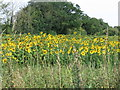 TL9687 : Sunflower field at Roudham Hall by Alan Kent