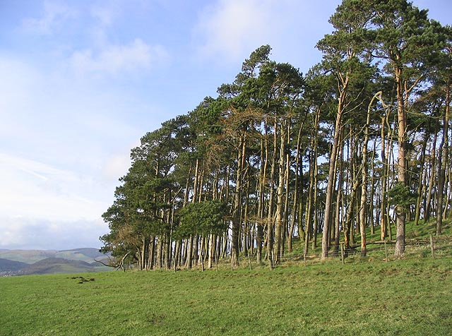 Scots pine plantation