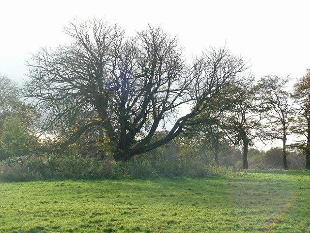 Oak tree, Haslam Park